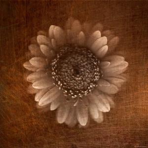Sepia Gerbera Daisy by Robert Cattan