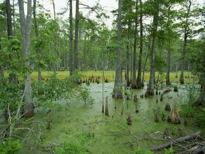Atchofalaya Swamp in the Heart of Cajun Country, Near Gibson, Louisiana, USA by Robert Francis