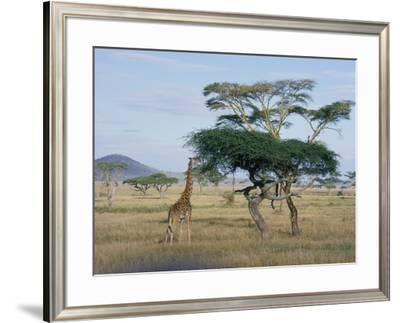Giraffe, Serengeti National Park, Tanzania, East Africa, Africa by Robert Francis