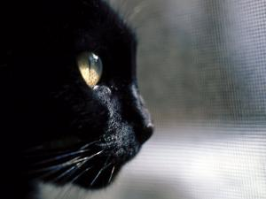 Black Cat Looking Out a Window by Robert Ginn