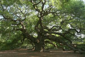 Angel Oak by Robert Goldwitz