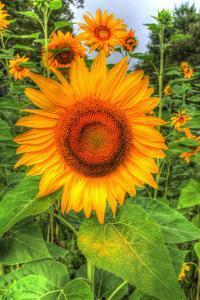 August Sunflowers by Robert Goldwitz
