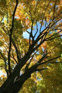 Autumn Maple Vertical by Robert Goldwitz