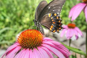 Butterfly 18 Spicebush by Robert Goldwitz