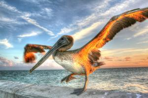 Dancing Pelican by Robert Goldwitz