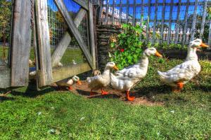 Ducks Escapiing by Robert Goldwitz