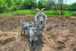 Goats by Robert Goldwitz