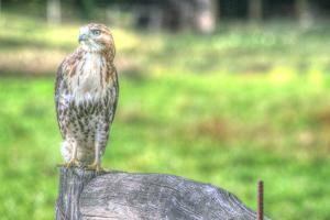 Hawk and Fence by Robert Goldwitz