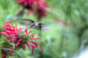 Hummingbird 1 by Robert Goldwitz