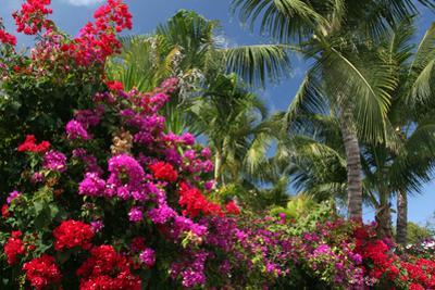 Palm Bougainvillea by Robert Goldwitz