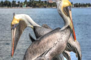 Pelicans Two by Robert Goldwitz