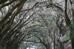 Spainish Moss Live Oak Arch by Robert Goldwitz
