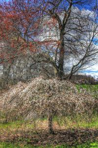 Spring Cherry Tree by Robert Goldwitz