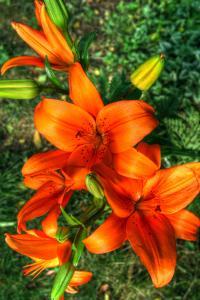 Tiger Lilies I by Robert Goldwitz