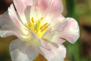 Tulip Pink CU by Robert Goldwitz