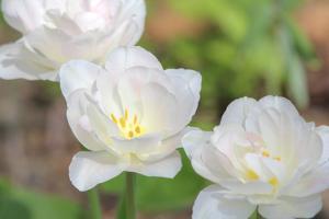 Tulip Three by Robert Goldwitz