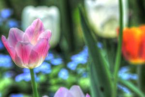 Tulips Four by Robert Goldwitz