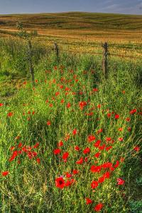 Tuscan Vertical Poppies and Fence by Robert Goldwitz