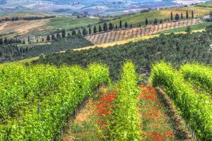 Tuscan Wine Rows by Robert Goldwitz
