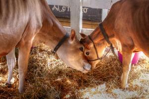 Two Calves by Robert Goldwitz