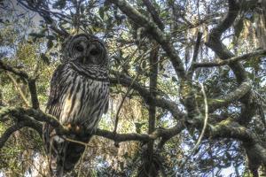 Washington Oaks Owl by Robert Goldwitz
