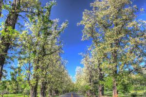 While Tree Blossoms Roadside by Robert Goldwitz