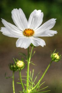 White Flower Vertical by Robert Goldwitz
