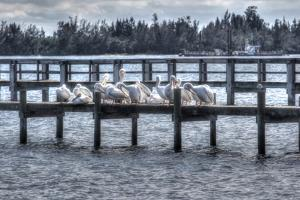 White Pelicans and Piers by Robert Goldwitz
