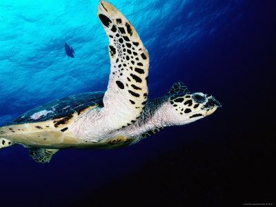 Hawksbill Turtle Swimming in Ema Reef, Kimbe Bay