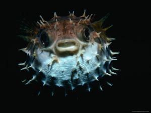 Inflated Puffer Fish by Robert Halstead