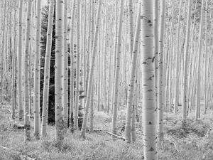 Aspen Black and White 1 by Robert Hansen