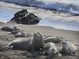 Elephant Seals, San Simeon by Robert Hansen