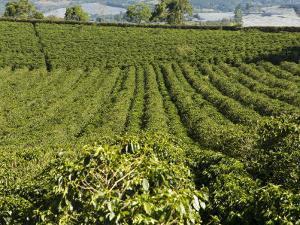Coffee Plantations on the Slopes of the Poas Volcano, Near San Jose, Costa Rica by Robert Harding