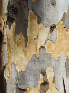 Eucalyptus Tree Bark, Greece, Europe by Robert Harding