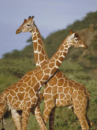 Giraffe, Sambura, Kenya, Africa by Robert Harding