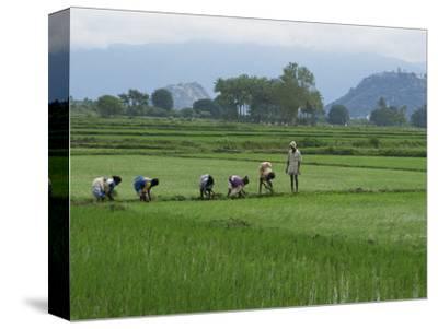 Line of People Planting Rice, Working the Rice Fields Near Madurai, Tamil Nadu, India