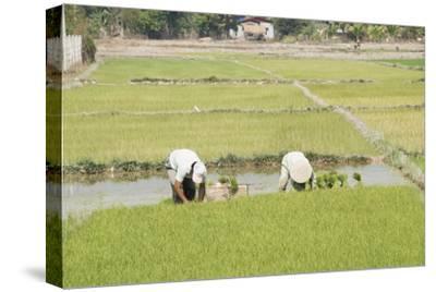 Planting Rice, Vientiane, Laos