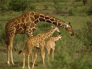 Reticulated Giraffe, Samburu, Kenya, East Africa, Africa by Robert Harding