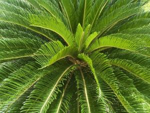 Tree Fern, Arenal, Costa Rica by Robert Harding