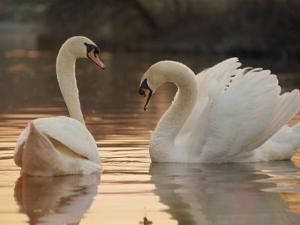 Two Swans on Water by Robert Harding