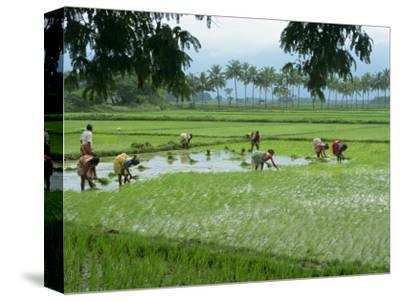 Workers in the Rice Fields Near Madurai, Tamil Nadu State, India
