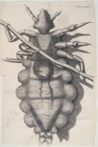 Louse Clinging to a Human Hair in Hooke's Micrographia, 1665 by Robert Hooke