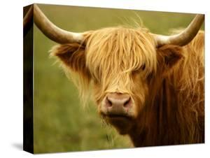 Long-Haired Cow, Scottish Highlands by Robert Houser