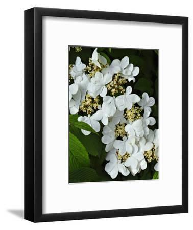 Vibernum Flowers or Corymbs (Viburnum Plicatum) Consist of Small Fertile Flowers