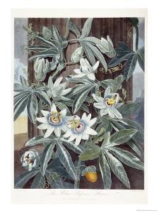 Passion Flowers by Robert John Thornton