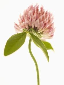 Pink Clover Flower by Robert Llewellyn