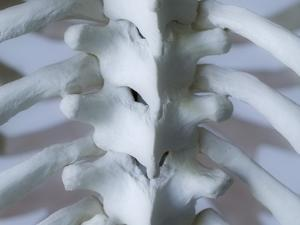 Skeleton spine and ribs by Robert Llewellyn