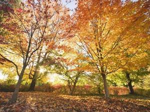 Trees in Autumn by Robert Llewellyn