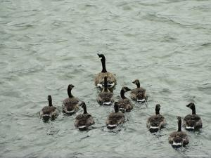 A Canada Goose Leads a Gaggle of Adolescent Geese Through the Water by Robert Madden