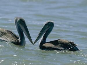 Brown Pelicans Touching Beaks by Robert Madden